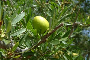 The benefits of argan oil for the skin