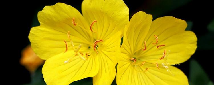 Evening Primrose For Skin