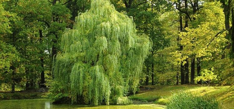BHA From Bark Of Willow Tree